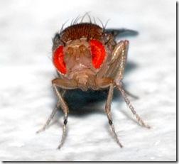Drosophila_Andre_Karwath_bysa