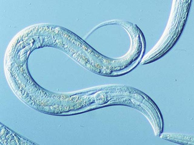 Semana -1543 - 2 C. elegans
